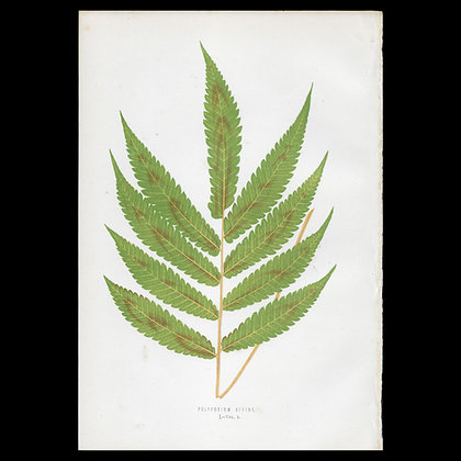 Polypodium affine - Circa 1860 Print