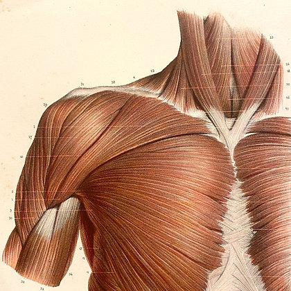 Muscles of the Chest - Original Mounted 1847 Print