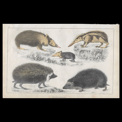 Hedgehog - 1858 Hand Watercoloured Print