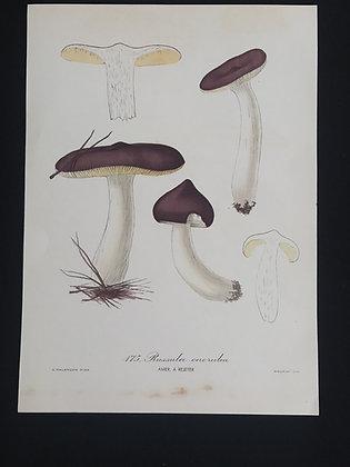 Russula caerulea (Humpback Brittlegill) Fungus