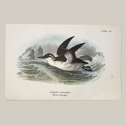 Common Guilemot, Small Plate Print -1893