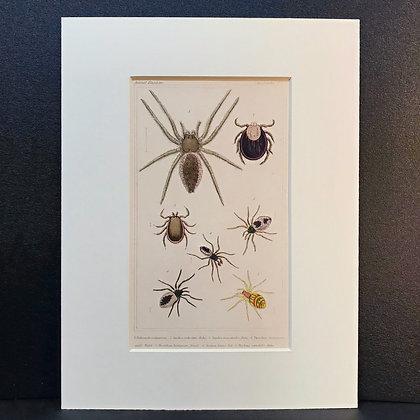 Arachnid Plate 31 - Hand Coloured Circa 1860