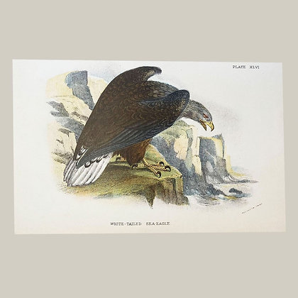 White Tailed Sea Eagle, Small Plate Print -1893
