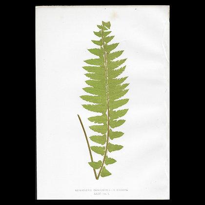 Nephrolepis cavallioides - Circa 1860 Print