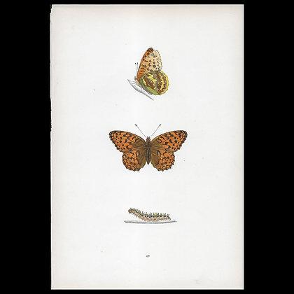 High Brown Fritillary Butterfly - Circa 1860 Print