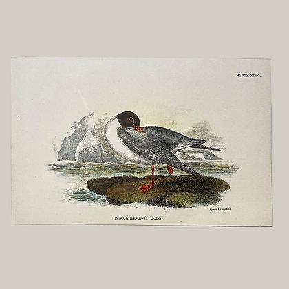 Black Headed Gull, Small Plate Print -1893