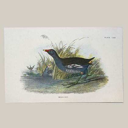 Moor Hen, Small Plate Print -1893