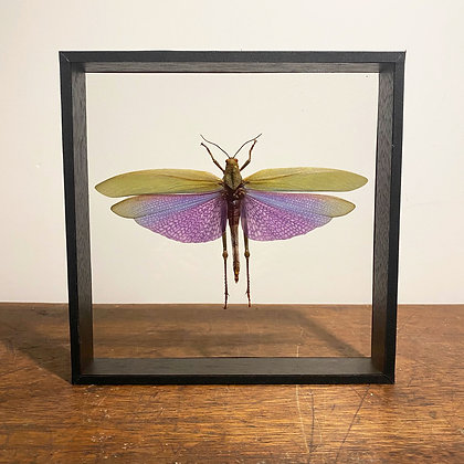 Purple Winged Grasshopper - Double Sided Glass Frame