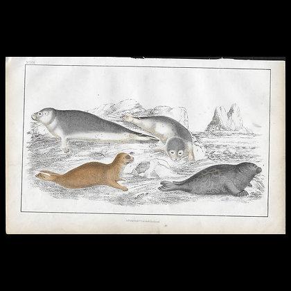 Seals - 1858 Hand Watercoloured Print