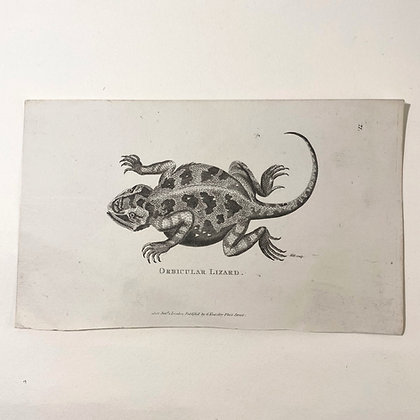 Orbicular Lizard  - Plate Print Dated 1802