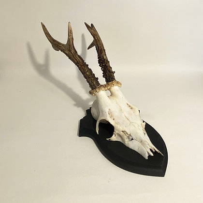 Large Roe Deer Skull