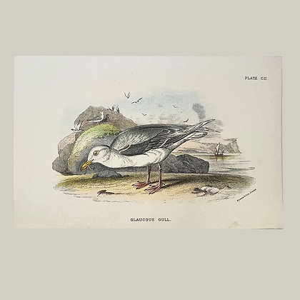 Glaucous, Small Plate Print -1893