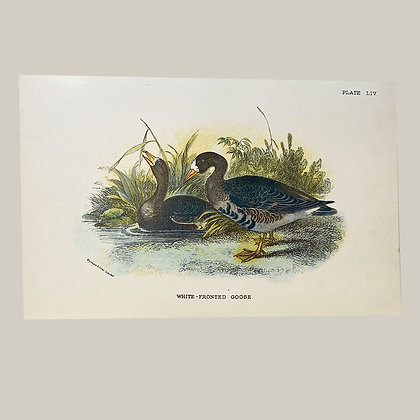 White Fronted Goose, Small Plate Print -1893