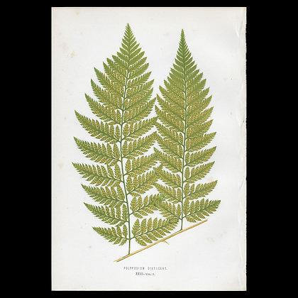 Polypodium divergens - Circa 1860 Print