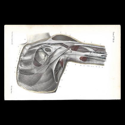 Plate 55 - Aponeurosis of the shoulder. Original 1847 print.