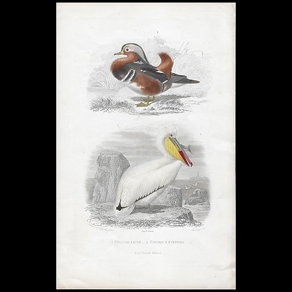 Various Birds including Partridge - Circa 1863 Hand coloured Print
