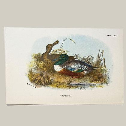 Shoveler, Small Plate Print -1893