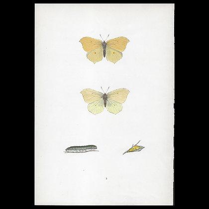 Brimstone Butterfly - Circa 1860 Print