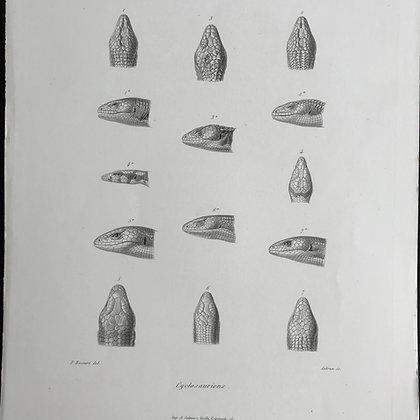 Cyclosauriens - 1861 Plate 21 A