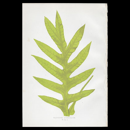Polypodium quercifolium - Circa 1860 Print