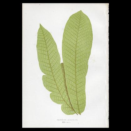 Polypodium musafolium - Circa 1860 Print