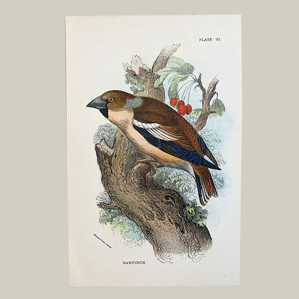 Hawfinch, Small Plate Print -1893