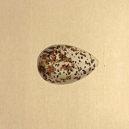 Golden Plover, Egg Print Circa 1890