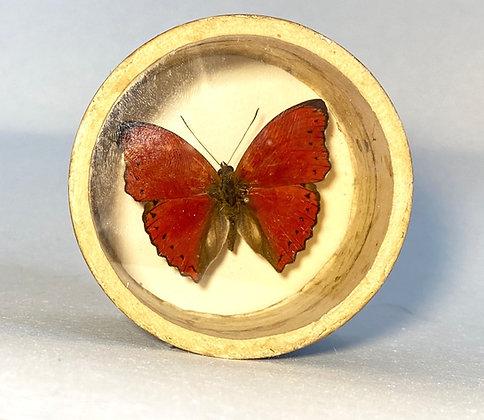 Blood Red Glider - Cymothoe sangaris  - Bug Pot