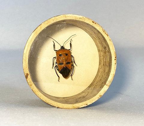 Shield Stink Bug  - Catacanthus Incarnatus - Bug Pot