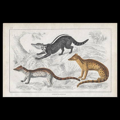 Civet - 1858 Hand Watercoloured Print