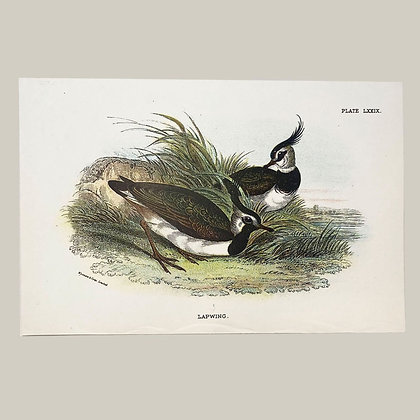 Lapwing, Small Plate Print -1893