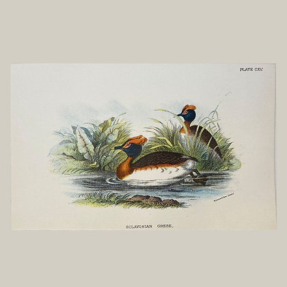 Sclavonian Duck, Small Plate Print -1893