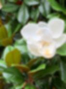 Magnolia.jpeg