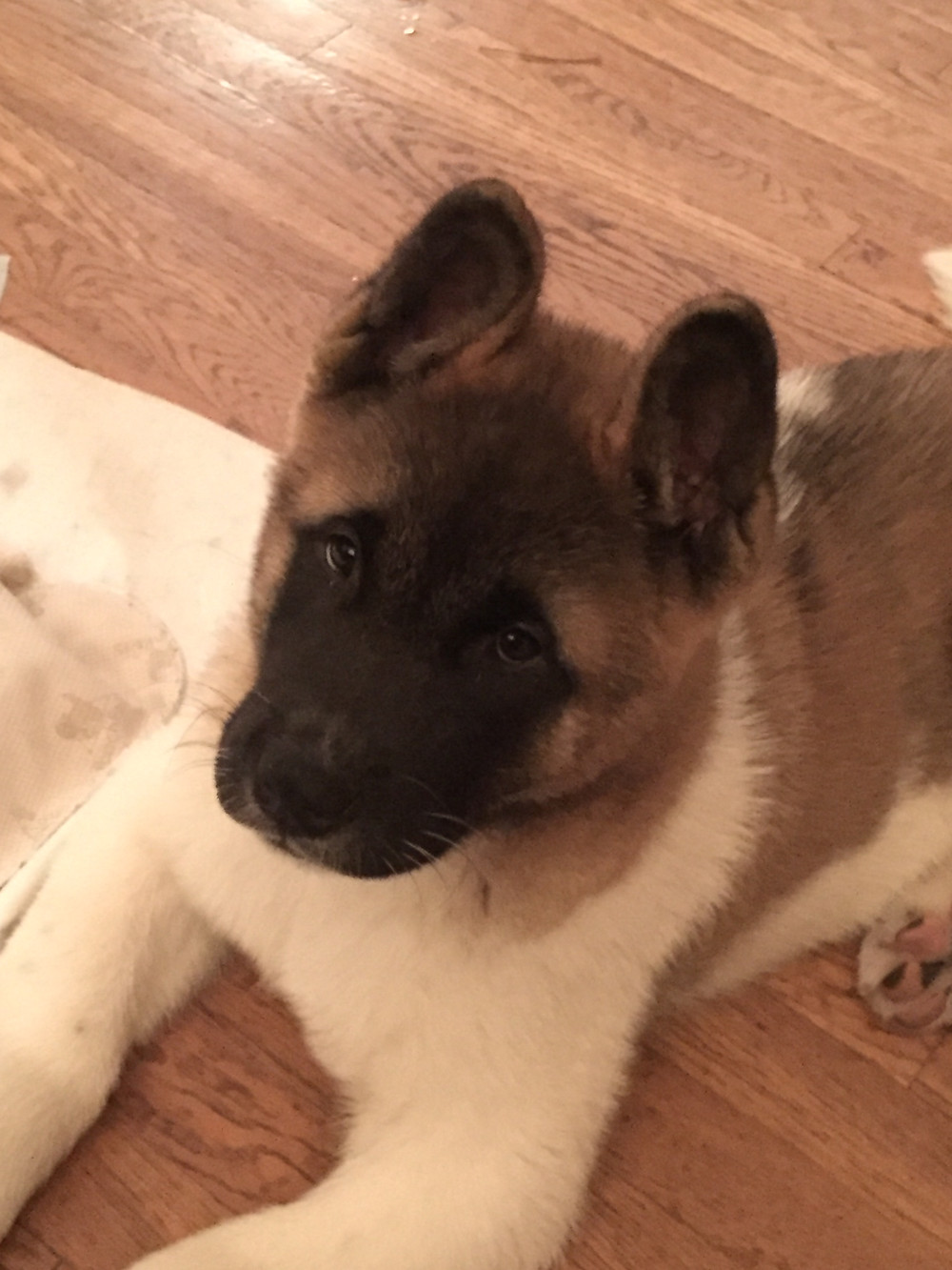 Coda, an Akita puppy with severe fear issues