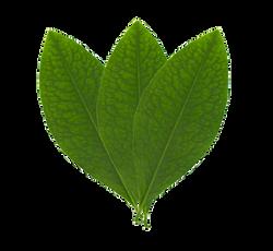 Koka Leaf logo_APP