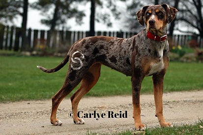 working catahoula cow dog, working catahoula, catahoula breeder, working catahoula breeder, ontario catahoula breeder