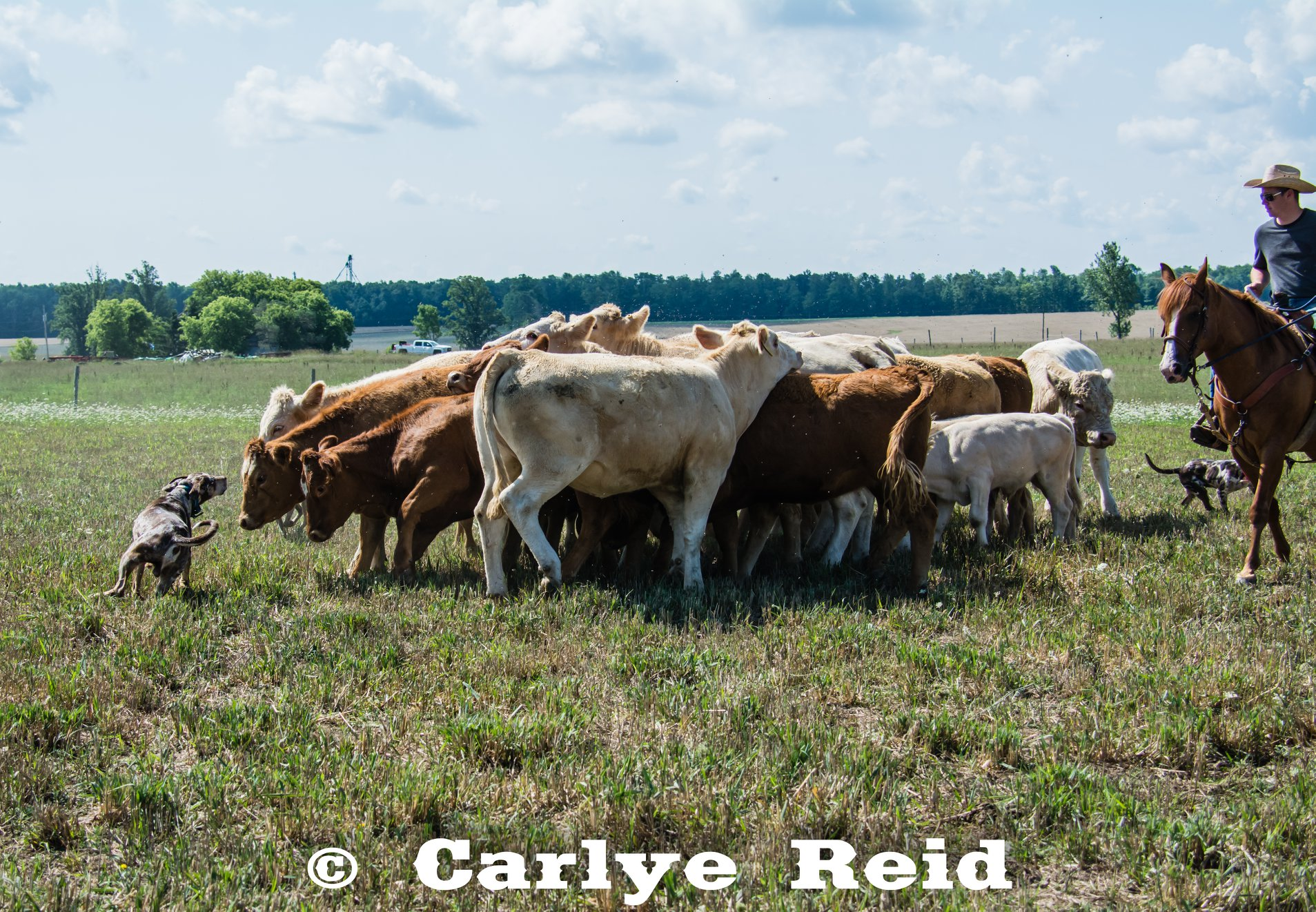 Gathering breeding heifers