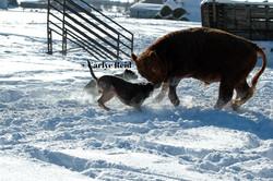 Angus working a bull