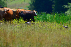 Settling cow/calf pairs