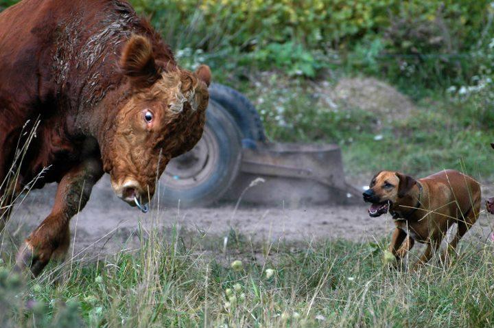 Bringing bull back