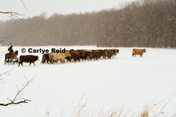 Moving dry cows