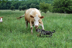 Ticky pushing a cow