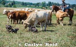 Settling yearling bull