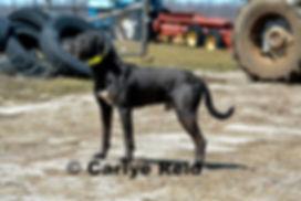 working catahoula cow dog, working catahoula, catahoula breeder, working catahoula breeder, ontario catahoula breeder