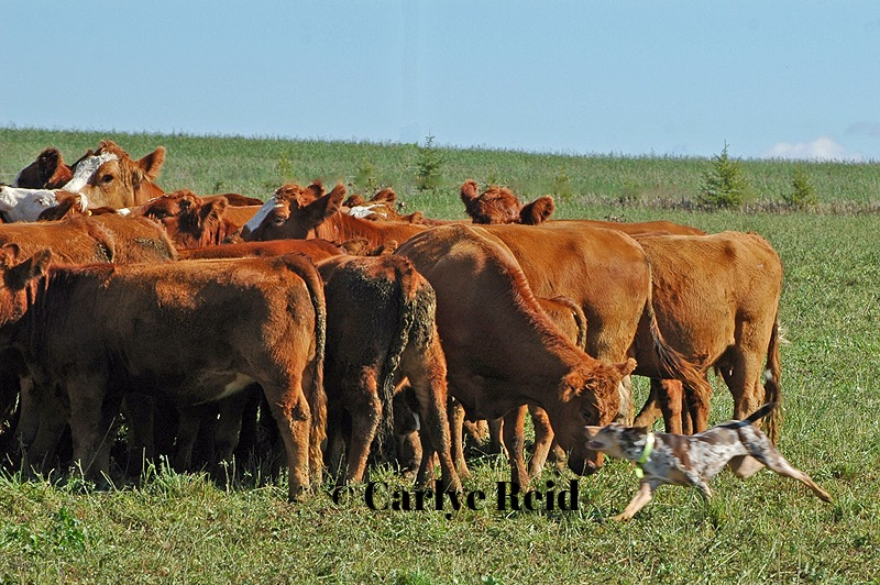 Wesson moving dry cows