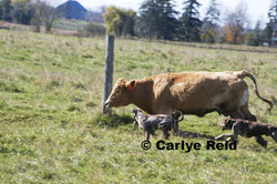 Wesson breaking green cows