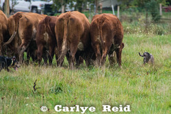Penning cow/calf pairs
