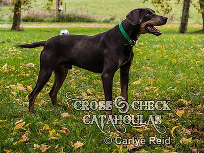 working catahoula, hunting catahoula, working catahoula breeder, hunting catahoula breeder