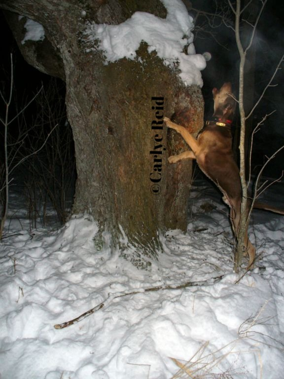 Angus treed