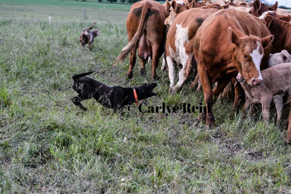 Turn gathering cow calf pairs